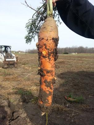 Carrott Bumper Crop