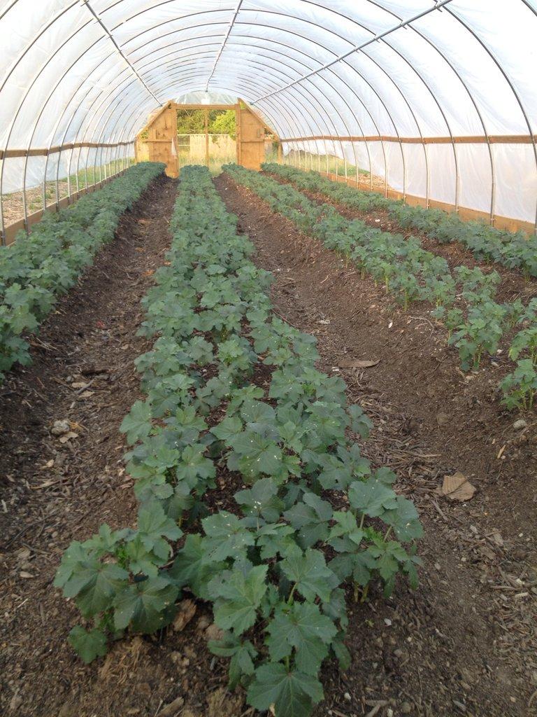 Growing Greens in Hoop Houses
