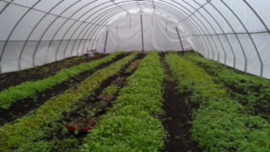Bountiful Minnesota hoop house produce 2013