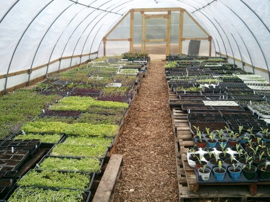 plants sprouting in our hoop house.