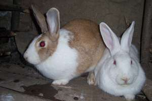 Rabbits being reared for sale