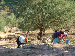 Rural Women Harvesting Olives