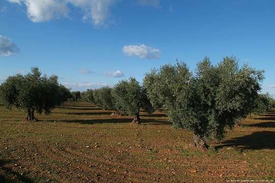 Olive tree planting with 200 Moroccan families