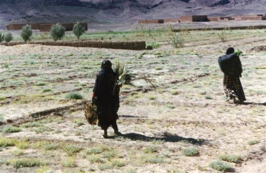 Distributing trees to women - Tafraoute 2003