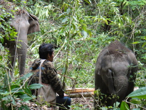 a mahout and his elephants