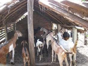 Selvam's livestock