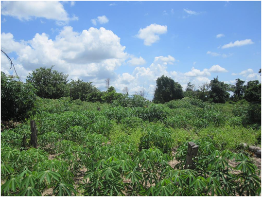Sophat's cassava plantation in Prey Kou village