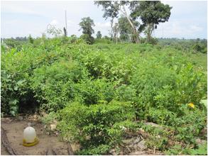 Sophat's vegetables plantation