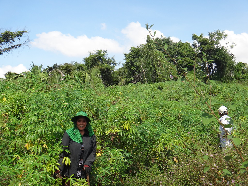 Cassava farm in the village