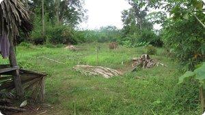 Srey Phoom's vegetable garden, ruined by floods.