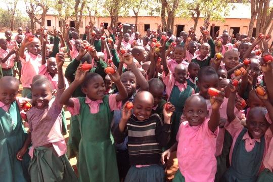 tomato distribution