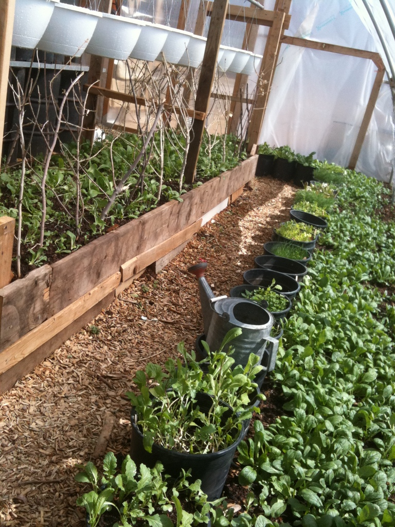Spring greens in hoophouse