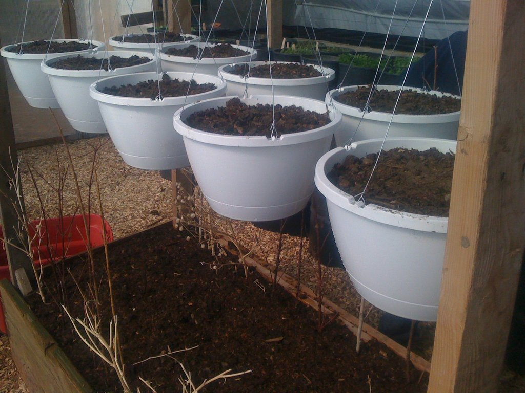 Strawberries and Spinach starts
