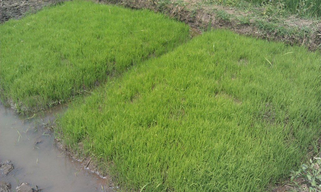 before farming rice,u first Farm the seeds a apart