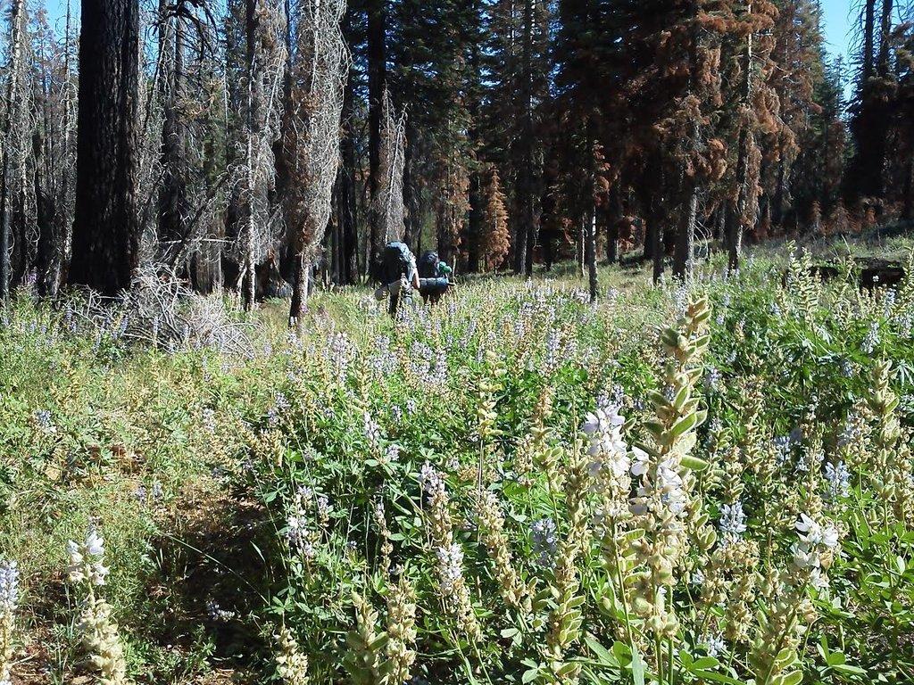 Field of Lupin