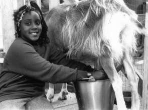 Farm & Wilderness Camper Milking a Goat