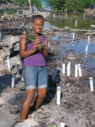 Gathering mangrove propugules to plant