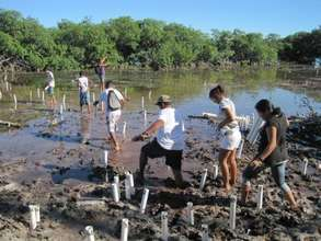 Planting the mangroves