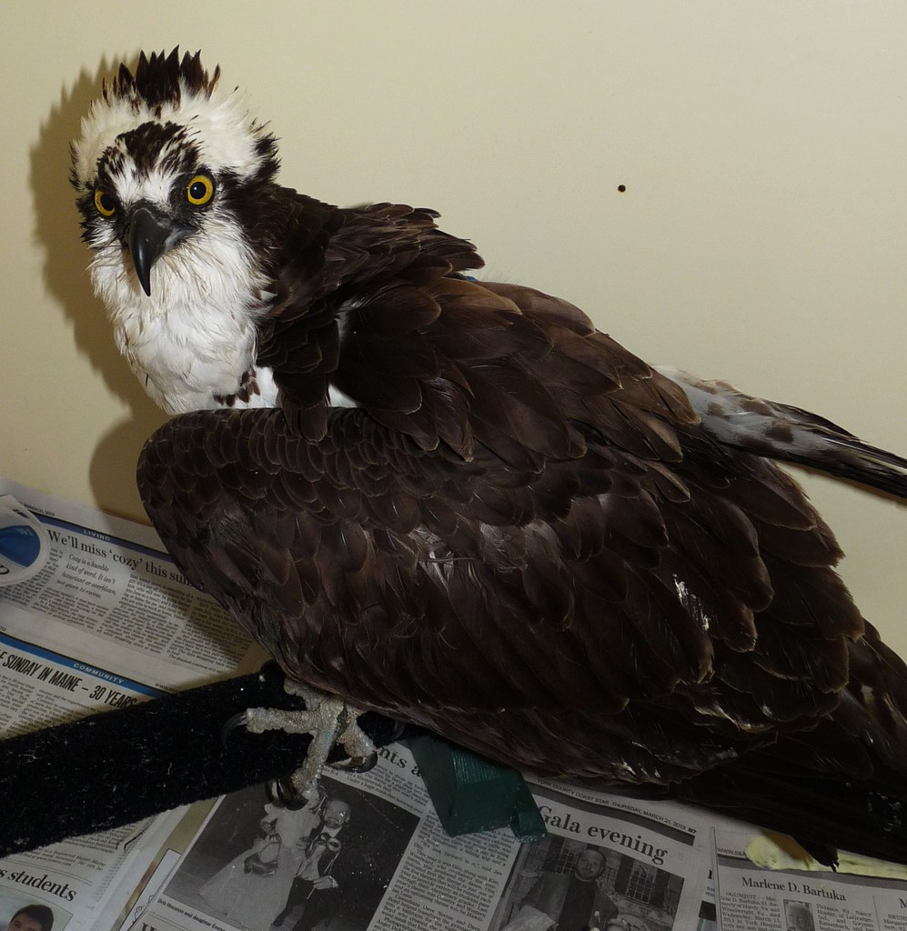 Osprey recovers from being tangled in fishing line