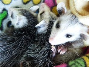 Virginia opossums rescued from dead mother's pouch