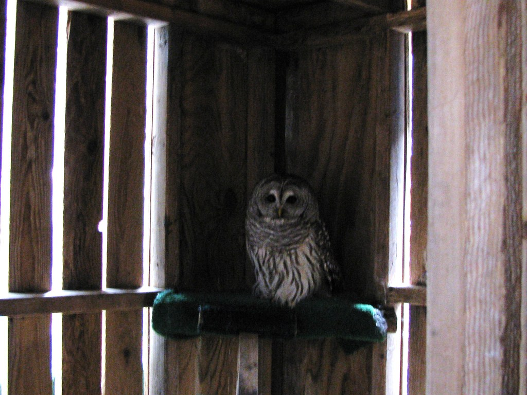 barred owl patient- to be released in spring!