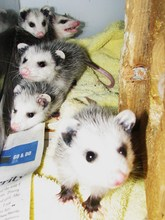 Virginia opossum babies rescued from the road