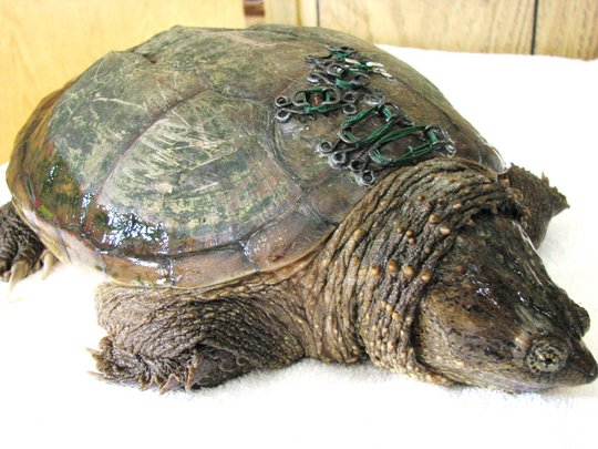 Snapping Turtle's Shell is Repaired