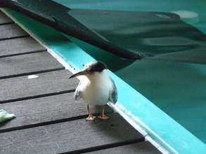 Common tern recovers from fractured wing!