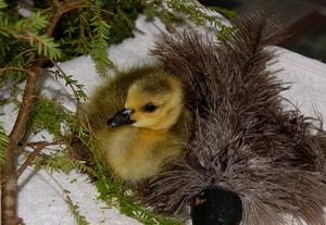 Orphaned Canada gosling