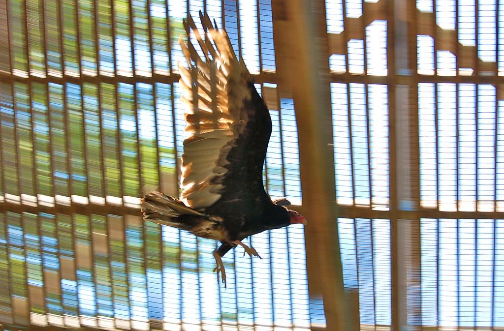 Turkey Vulture Regains Her Strength