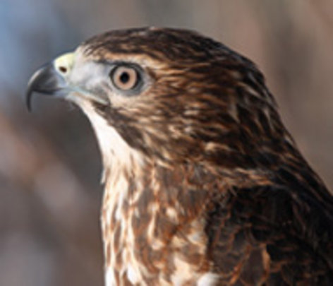 Broad-winged hawk educational ambassador at work