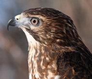 Broad-winged hawk educational ambassador at work
