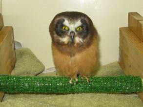 Saw whet owl rehabilitation patient