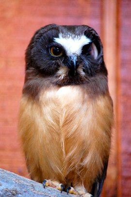 New Saw Whet Owl Educational Ambassador