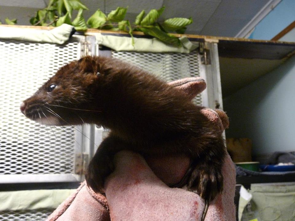 North American mink recovers in our clinic!
