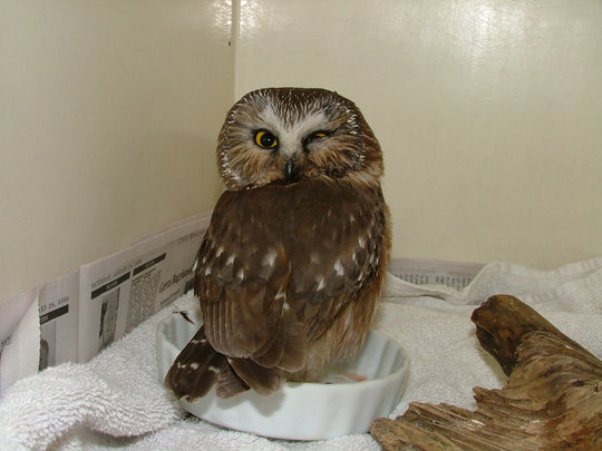 Saw whet owl with eye injury