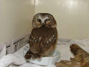 Saw whet owl with eye injury