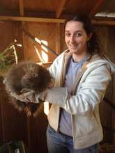 Wildlife Apprentice prepares to weight porcupine!