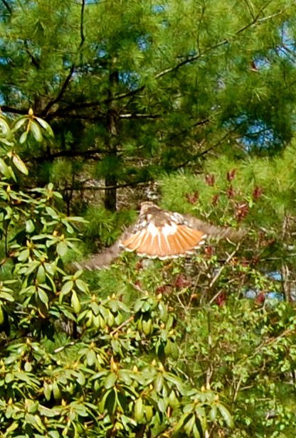 Red-Tailed Hawk Soars Strongly Home