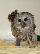 Barred Owl with fractured foot