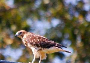 1 of 3 broad-winged hawks released to the wild