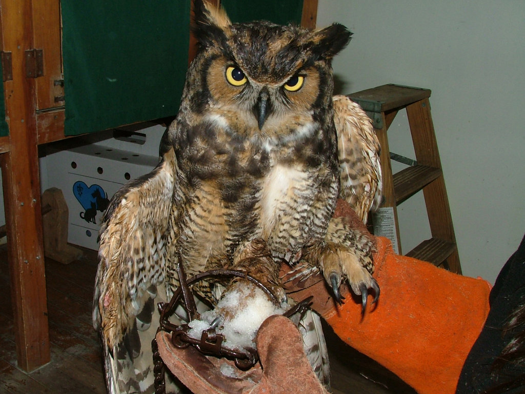 Great-horned owl caught in a leg-hold trap