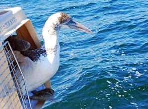 Northern Gannet prepares for release