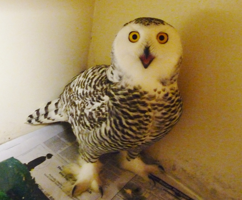 This snowy owl is now ready for release!