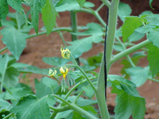 Tomato plants...flowering already