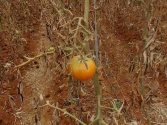 TomatoD