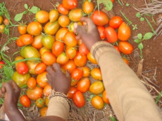 Junior farmers sorting the fruit