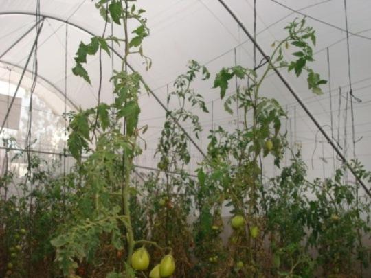 Fruiting Tomato Plants