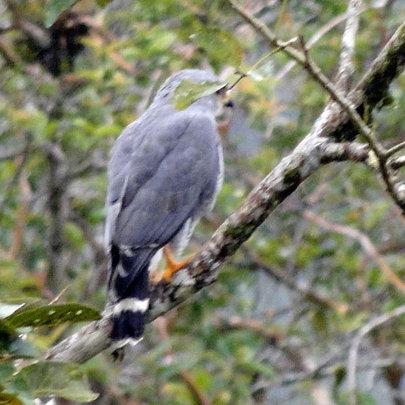 Roadside Hawk seen at the maleku Reserve