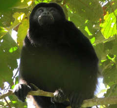 A Mantled Howler Monkey- a forest resident